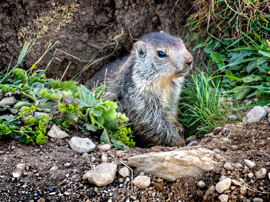 marmotte des Alpes sort de son terrier